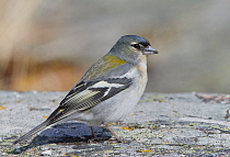 Chaffinch (Fringilla coelebs) male. Uto, Finland. April.