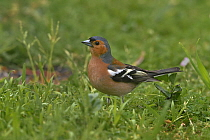 Common chaffinch (Fringilla coelebs) male foraging in grass, Vendee, France, April