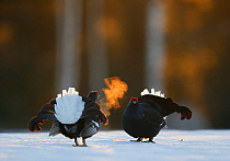 Two male Black grouse (Tetrao / Lyrurus tetrix) confronting eachother at lek, with breath condensing in cold air. Kuusamo, Finland, April.