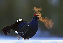 Male Black grouse (Tetrao / Lyrurus tetrix) calling at lek, with breath condensing in cold air. Kuusamo, Finland, April.