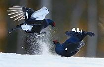 Two male Black grouse (Tetrao / Lyrurus tetrix) fighting at lek. Kuusamo, Finland, April.