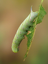 Eyed hawk moth (Smerinthus ocellatus) caterpillar in defence posture on a Sallow leaf, Hertfordshire, England, UK, October. Focus stacked.