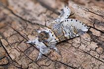 Sallow kitten moth (Furcula furcula), Peak District National Park, Derbyshire, UK. August. Focus stacke image.