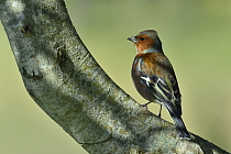Common chaffinch (Fringilla coelebs) male, on branch, Vendee, France, March,