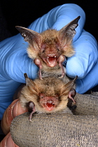 Bechstein's bat (Myotis bechsteinii) held above a Natterer's bat (Myotis nattereri) for comparison during an autumn swarming survey run by the Wiltshire Bat Group, near Box, Wiltshire, UK, September....