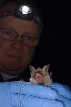 Bechstein's bat (Myotis bechsteinii), a rare, endangered species of ancient woodlands in the UK, held during an autumn swarming survey run by the Wiltshire Bat Group, near Box, Wiltshire, UK, Septembe...