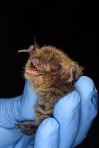 Brandt's bat (Myotis brandtii) held during an autumn swarming survey run by the Wiltshire Bat Group, near Box, Wiltshire, UK, September. Model released.