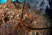 New Zealand Crayfish or Southern Rock Lobster (Jasus edwardsii) hides under a Fiordland Black Coral tree (Antipathella fiordensis) in Dusky Sound, Fiordland National Park, New Zealand. April 2014.