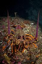 New Zealand Crayfish or Southern Rock Lobster (Jasus edwardsii) in Dusky Sound, Fiordland National Park, New Zealand. April 2014.(Cropped)