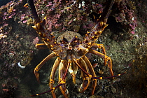 New Zealand Crayfish or Southern Rock Lobster (Jasus edwardsii) in Dusky Sound, Fiordland National Park, New Zealand.